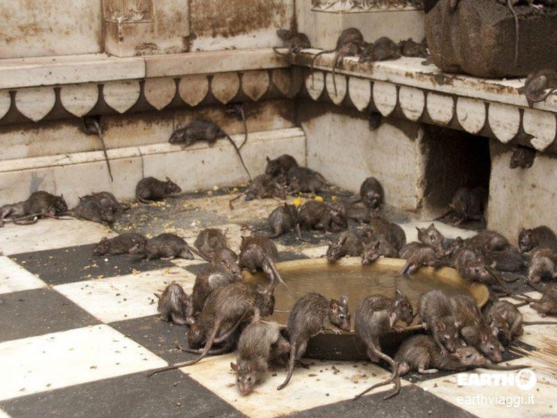 Il Tempio dei Topi di Deshnoke in Rajasthan