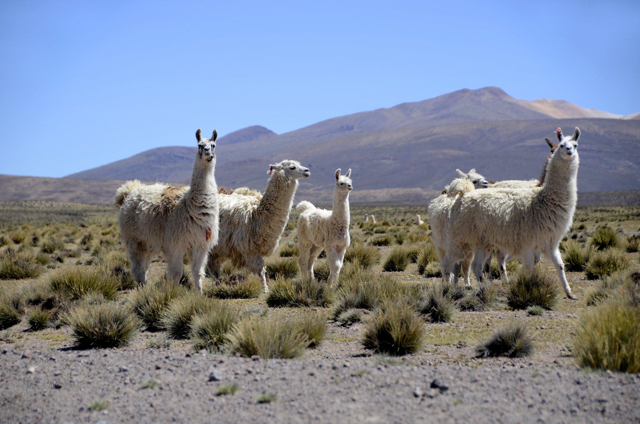 Reserva Nacional Las Vicunas, puro fascino andino