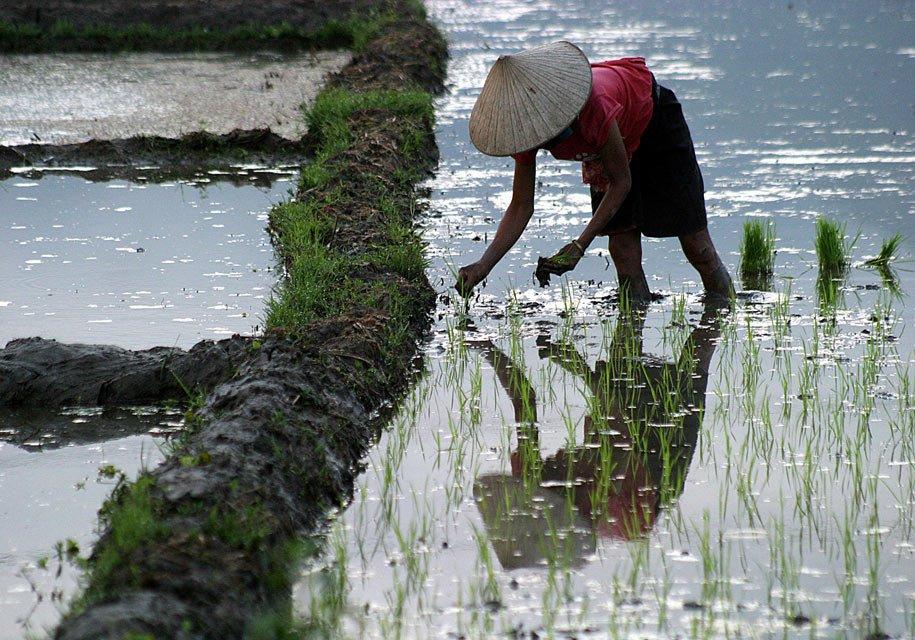 Risaie---Vietnam