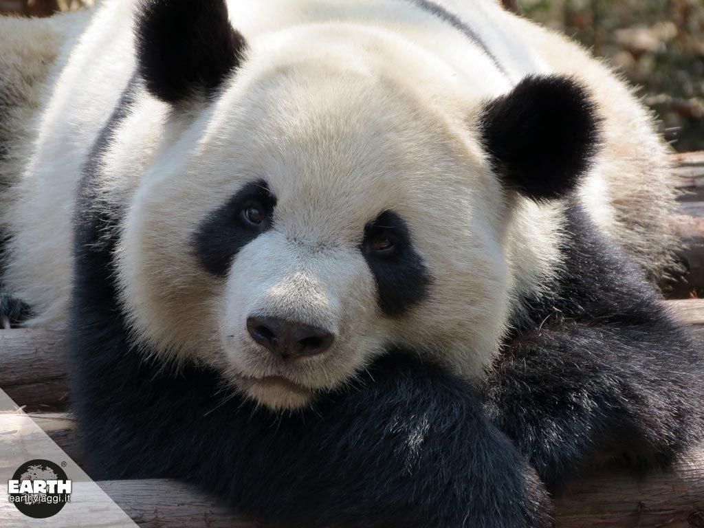 Chengdu, la città dei panda giganti