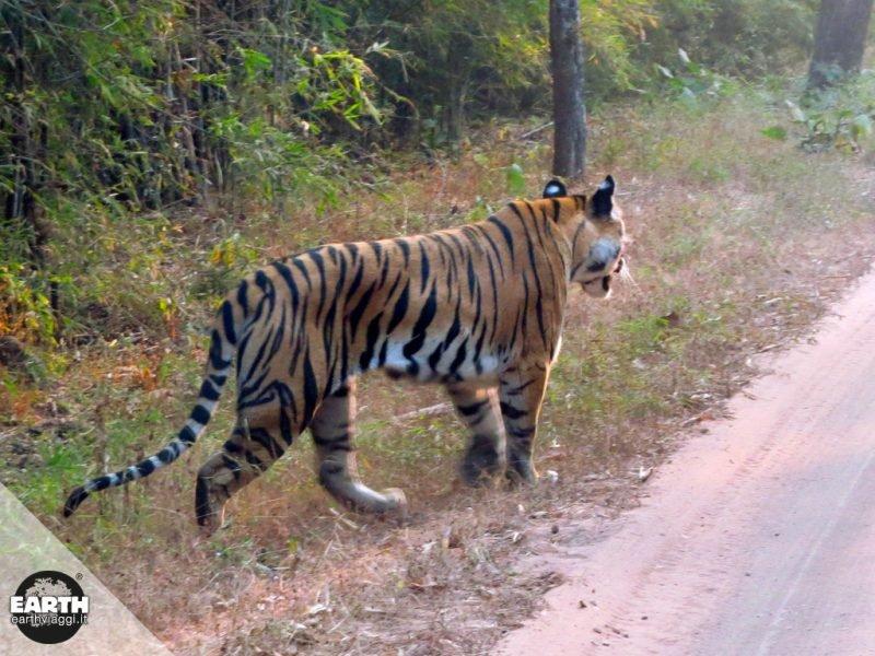 Sulle tracce della tigre nei Parchi Nazionali del Madhya Pradesh (India)