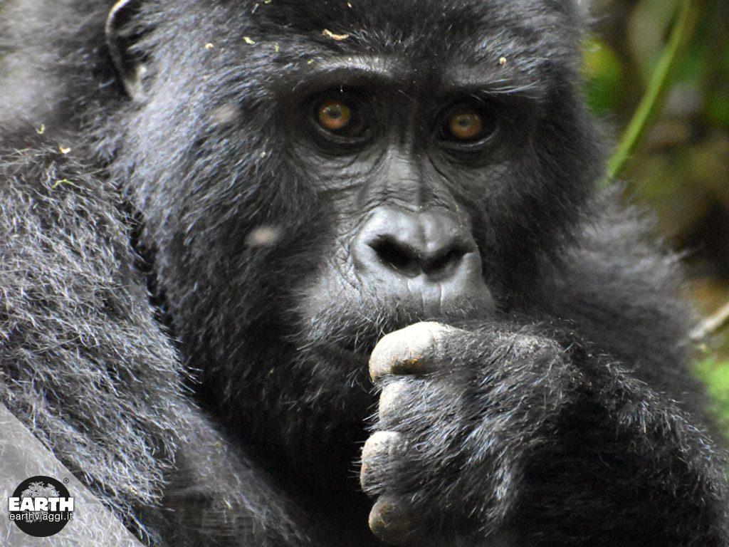 """Conosciamo da vicino il gorilla di montagna, il """"gigante buono"""" dell'Africa equatoriale"""